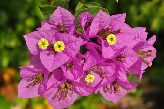 Bougainvillea, yellow flowers and purple bracts