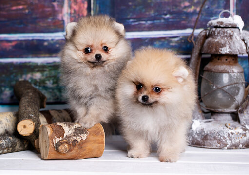 pomeranian spitz against the background of New Year's decor, Christmas dog, christmas puppy - miniature