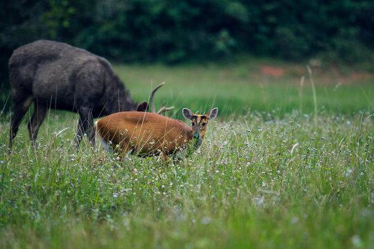 barking deer and sambar deer in khao yai national park thailand