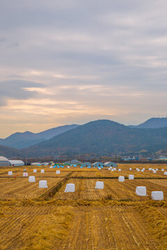 Sunset view of rural paddy field at autumn in Gyeongju, Korea