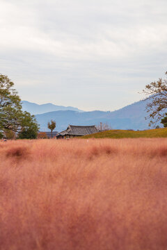 Pink muhly grass field and old house in Gyeongju, Korea