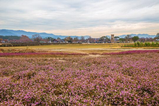 Cheomseongdae observatory with flower field in Gyeongju, Korea