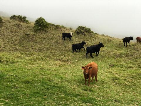 Unbothered cow grazing on the slopes of Haleakala