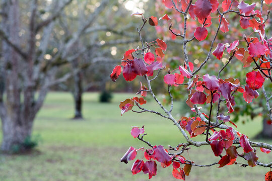 Colorful Autumn leaves and pecan trees. Lexington, SC