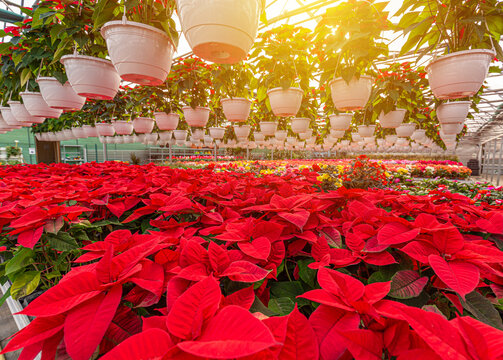Poinsettia Christmas red flowers