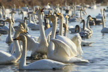 swan lake in Iran