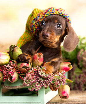 dog dachshund brovn in hat and tan color portrait sitting retro background