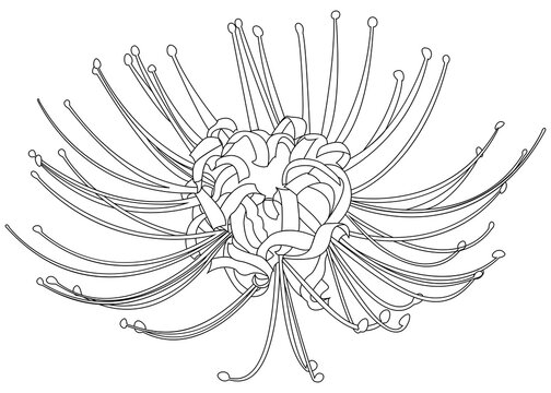 Hand drawn spider lily line silhouette isolated on white