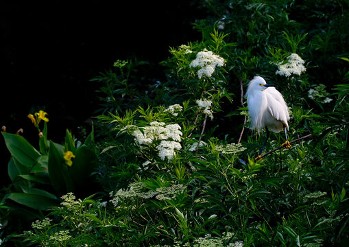Cattle Egret Bird Resing on a Branch in the Tropics of Florida