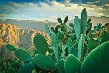 Blooming opuntia on Gran Canaria Island
