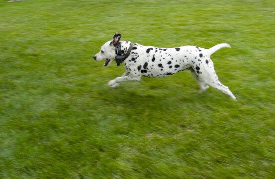 Dalmatian running in green grass