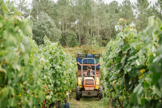 Farm tractor with harvested grapes in vineyard