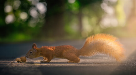 A red squirrel found a nut on a park alley.