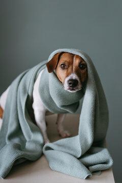 A cute dog in a wool scarf.