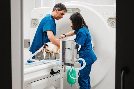 Veterinary doctors preparing dog for tomography examination in c