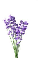 Closeup Blue Mountian a violet lavender field in Hokkaido, Lavender flowers bundle on a white...