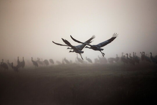 Cranes fly during the migration season on a foggy morning at Hula Nature Reserve, in northern Israel