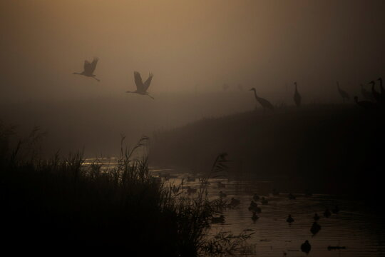 Cranes fly above a lake during the migration season on a foggy morning at Hula Nature Reserve, in northern Israel