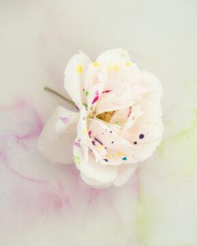 white rose floating in aquarel water