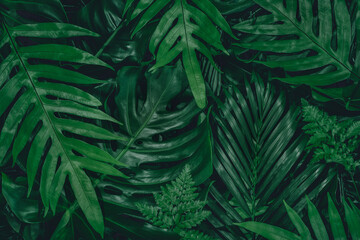 Monstera green leaves or Monstera Deliciosa in dark tones(Monstera, palm, rubber plant, pine, bird's nest fern), background or green leafy tropical pine forest patterns for creative design elements.