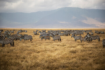 Group of zebras in the african savanna