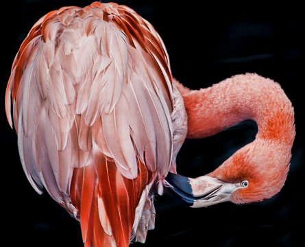 American or Caribbean Flamingo, Phoenicopterus ruber, close up