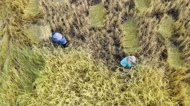 Aerial view of tractor harvesting in rice field.Drone shot flying