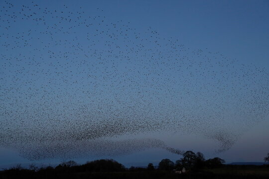 Starlings fly in a murmuration over Catterick, North Yorkshire