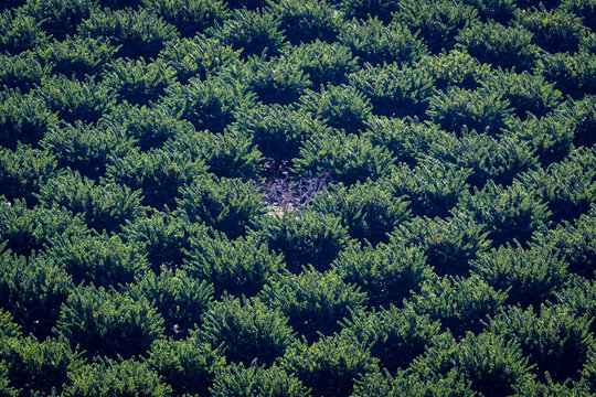 Aerial view of a cultivated field with custard apple trees planted in lines and a dry plant in the middle.