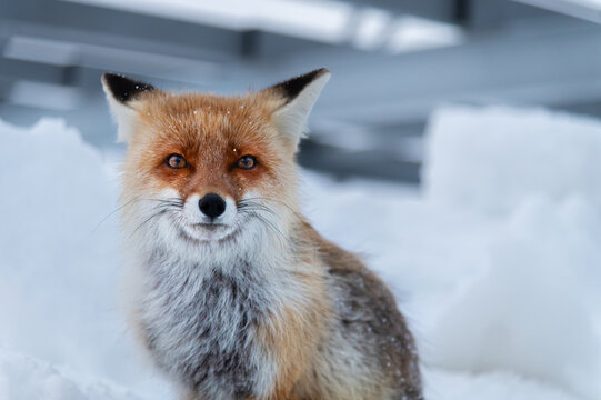 Lonely wild sad red fox sits in the snow on the background of gray metal structures