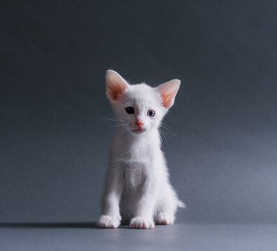 Cute white kitten looking at camera