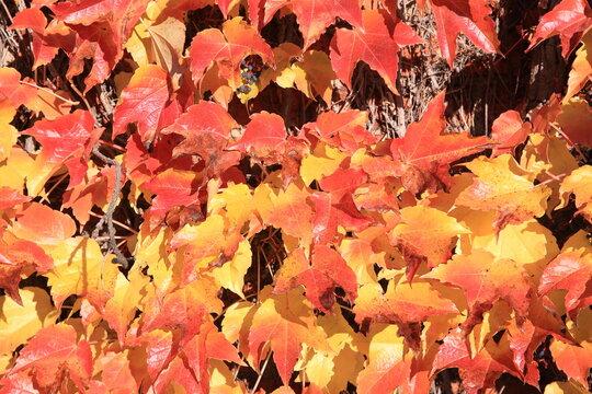 Grape ivy in sunny November