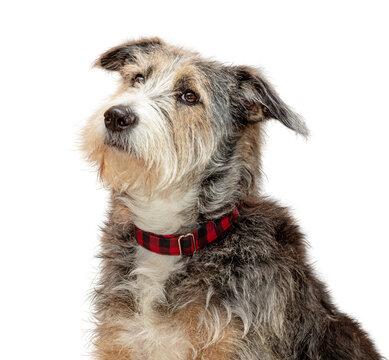 Sheepdog Crossbreed Dog Profile Closeup Extracted