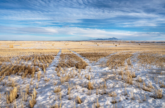 Wheat field and straw bales in the Milk River Valley with the Sweetgrass Hills in the background