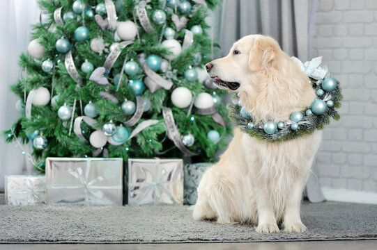 Golden retriever against deocrated Chrostmas tree in the room
