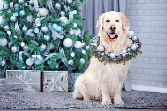 Golden retriever with decorated wreath on the neck against Christmas tree