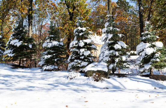 Snow covered fir trees during the first snow fall of the season in Massachusetts