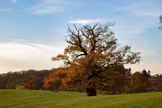 Die alte Eiche im Herbst