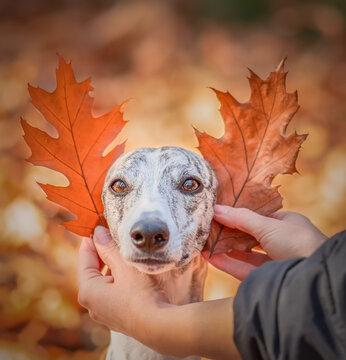 witzig, Whippet Hündin bekommt Eichen Blätter als Ohren an den Kopf gehalten