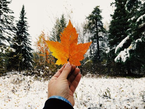 Cropped Hand Using Maple Leaf Against Trees In Forest