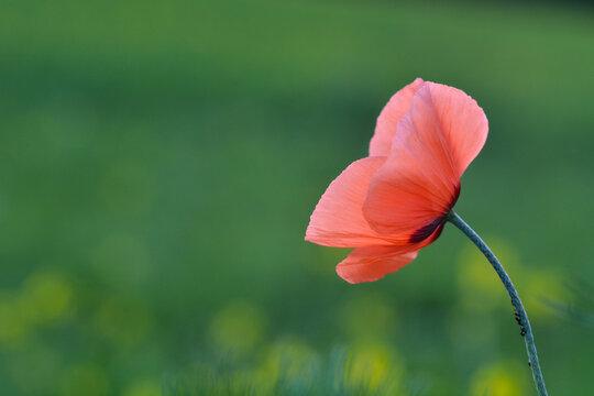 Rote Mohnblüte vor grünem Hintergrund
