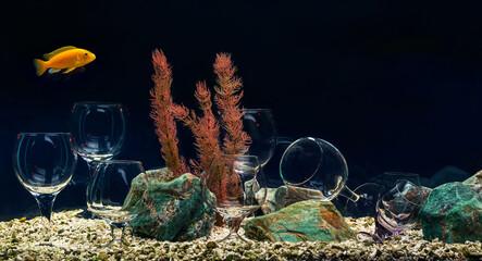 Aquarium with cichlids unusual decorated by wine glasses.
