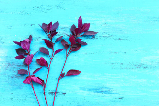 Ruby plant bloom in front of blue wooden background