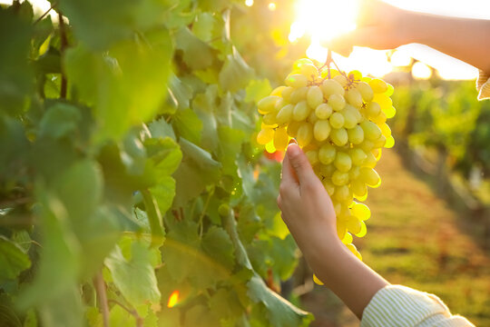 Woman holding cluster of ripe grapes in vineyard, closeup