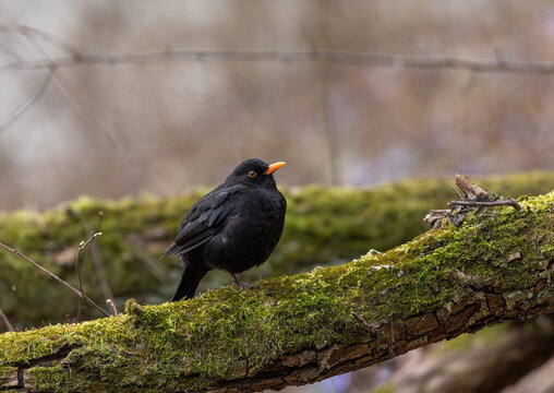 Common Blackbird (Turdus merula) Sits in the Tree. Early Spring