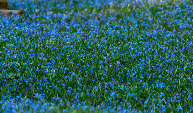 Blooming Siberica, Blue Scilla Flowers. Beautiful Blue Flowers
