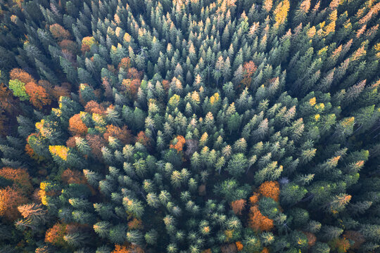 Aerial drone top down view. Yellow, orange and red autumn trees in colorful forest. Sunny day in autumn mountains