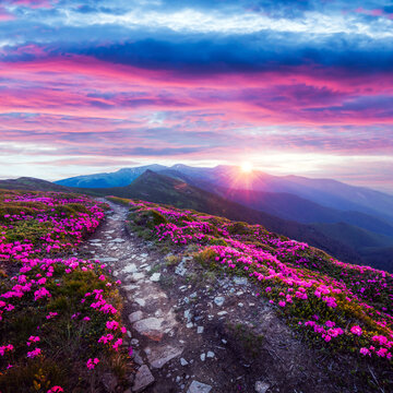 Rhododendron flowers covered mountains meadow in summer time. Purple sunrise light glowing on a foreground. Landscape photography