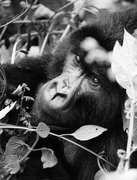 Close-up Of Gorilla By Plants Looking Away