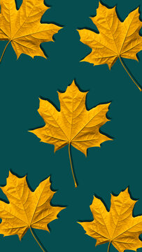 Golden or yellow maple leaf background isolated on turquoise background. Beautiful autumn maple leaves pattern